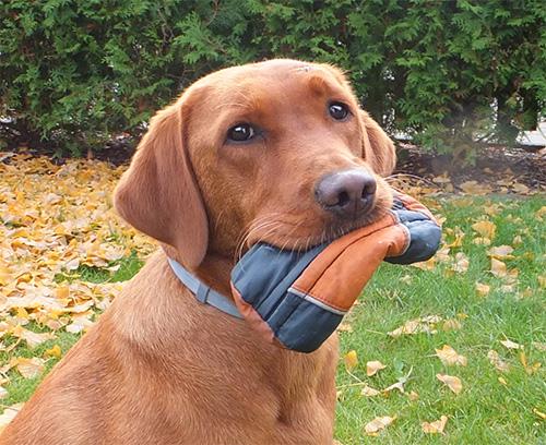 Hund apportiert Futterdummy