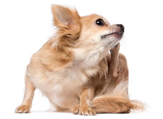 Natürlicher Ungezieferschutz vor Milben, Zecken und Flöhen bei Hunden
